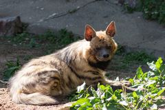 Striped Hyena hyena a rare animal in danger of extinction, basking in the spring sun in the Moscow zoo stock image