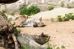 Striped hyena rest after night hunting Royalty Free Stock Image