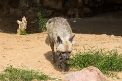 Striped hyena rest after night hunting Royalty Free Stock Photos