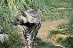 Striped hyena Hyaena Hyaena, observing surroundings. Striped hyena wild wildlife africa african carnivore brown animal view standing south stain side creature Stock Photo