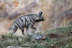 Striped hyena (Hyaena hyaena). Royalty Free Stock Photography
