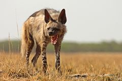 Striped Hyena. Yawning during hot summers at blackbuck national park, velavadar, Gujarat, India Royalty Free Stock Photography