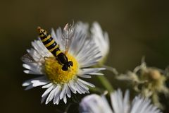 Striped insect on a small daisy flower stock photography