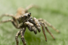 Striped Jumping Spider Royalty Free Stock Photos