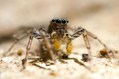 Striped jumping spider Royalty Free Stock Image