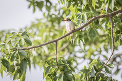 Striped kingfisher on a branch. Stock Images
