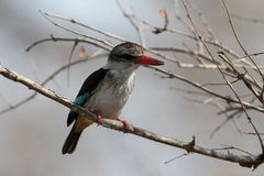 Striped kingfisher, Halcyon chelicut Stock Photos