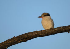 Striped Kingfisher in Kruger Park Royalty Free Stock Photography