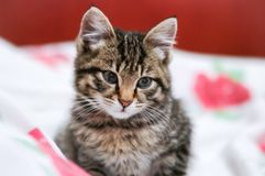 Striped kitten Royalty Free Stock Photos
