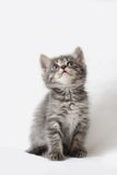 Striped kitten. The striped kitten on a grey background looks upwards stock photography
