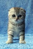 Striped kitten Royalty Free Stock Images