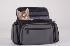 Striped kitten in the bag. Isolated on a grey stock photos