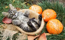 Striped kitten in basket. Kitten with pumpkins. Autumn cat. The cat is lined up with paws. Season concept royalty free stock image