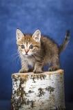Striped kitten Stock Photography