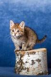Striped kitten Stock Images