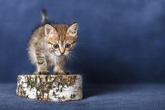 Striped kitten Royalty Free Stock Photo