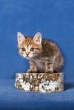 Striped kitten Stock Image