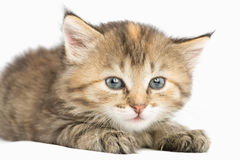 Striped kitten carefully watching eyes wide open. Striped kitten carefully watching wide-eyed. Lying paws forward Royalty Free Stock Photography