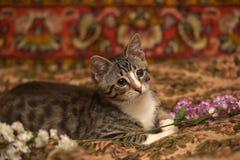 Striped kitten Royalty Free Stock Photos