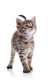 Striped kitten Royalty Free Stock Photography