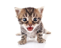Striped kitten crying Stock Photos