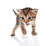 Striped kitten crying Royalty Free Stock Images
