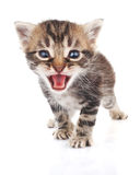 Striped kitten crying Stock Images
