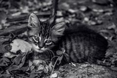 Striped kitten in dry leaves. Little sad cat. Portrait of a small kitten with a sad look. Monochrome stock images
