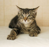 Striped kitten flattened his ears Stock Image