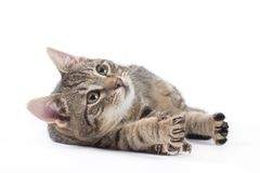 Striped kitten, isolated Royalty Free Stock Image