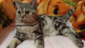 Striped kitten lies on a red plaid / Royalty Free Stock Images