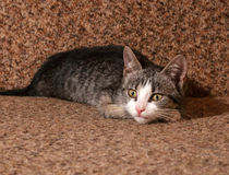 Striped kitten lying on couch Stock Images