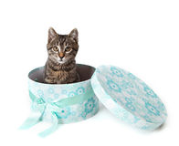 Striped kitten peeking out from blue gift box Royalty Free Stock Image