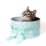 Striped kitten peeking out from blue gift box Royalty Free Stock Photo