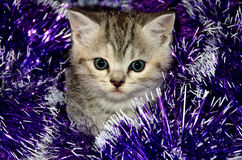Striped kitten plays with Christmas tinsel Royalty Free Stock Images