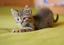 Striped kitten plays. On a green background royalty free stock images