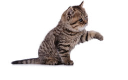 The striped kitten plays paw Royalty Free Stock Photos
