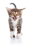 Striped kitten Stock Photography