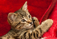 Striped Kitten on red. Striped Kitten looks on a red blanket royalty free stock images