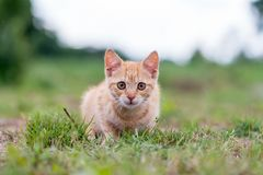 Striped Kitten sitting on the grass. Shallow depth of filed stock images