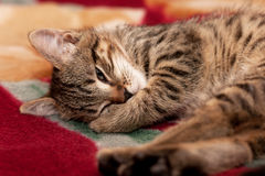 Striped Kitten sleep Royalty Free Stock Photo
