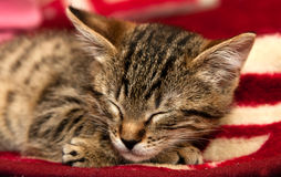 Striped kitten sleeps. On a red blanket stock image