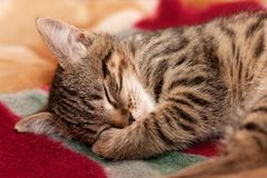 Striped kitten sleeps Royalty Free Stock Photos