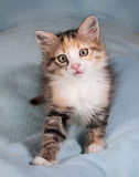 Striped kitten standing on blue Stock Photography