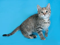 Striped kitten standing on blue Royalty Free Stock Photography