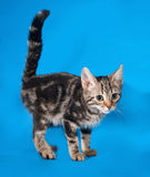 Striped kitten standing on blue Royalty Free Stock Images