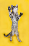 Striped kitten standing on hind legs on yellow Royalty Free Stock Photography