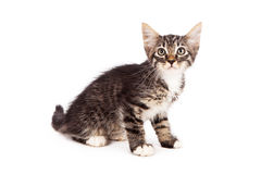 Striped kitten on white Royalty Free Stock Images