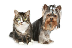 Striped kitten and yorkshire terrier. On a white background royalty free stock photo