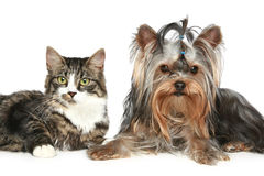 Striped kitten and yorkshire terrier. On a white background stock photo